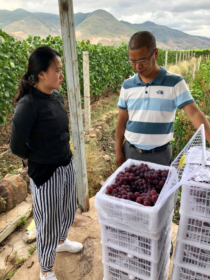 INVESTIGATIONS ORDERED AFTER CHEMICAL CONTAMINATION FOUND IN RED GRAPES