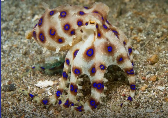 BLUE-RINGED OCTOPUS - TAKE IT OFF THE MENU!