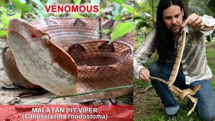 Malaysian Pit Viper - Royal Coast Review