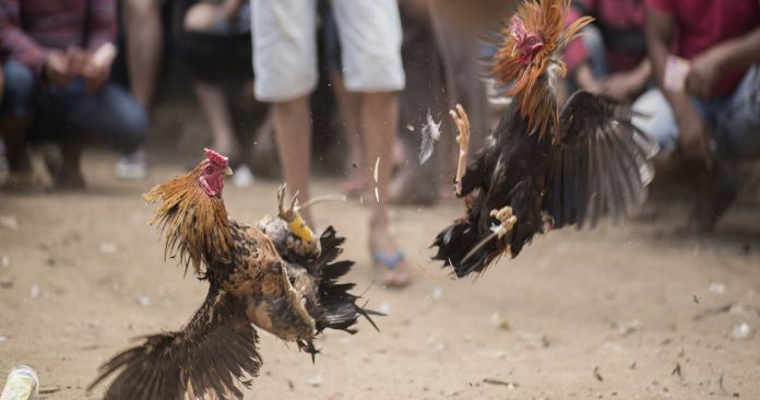 THAILAND'S FIGHTING COCKS ARE BACK; THAT'S A BIG DEAL FOR MANY THAI PEOPLE